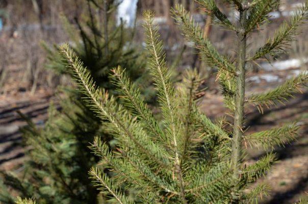 Новогодние елки можно будет сдать на утилизацию